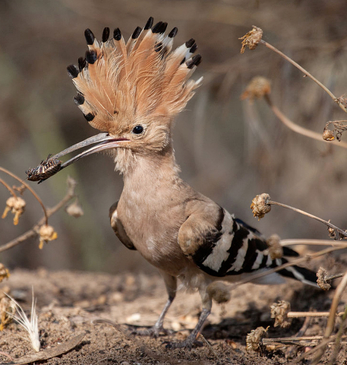 Hoopoe Bird Hula Valley